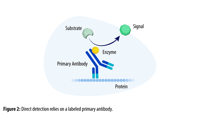 Direct-detection-labeled-primary-antibody