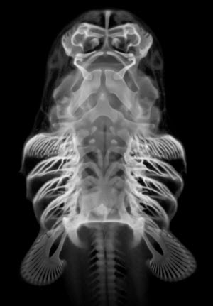 Bamboo Shark Skeleton