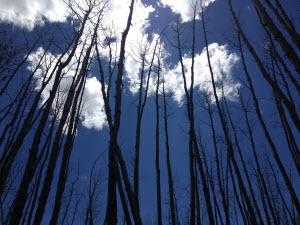 Trembling aspen trees killed by drought stress near Flagstaff