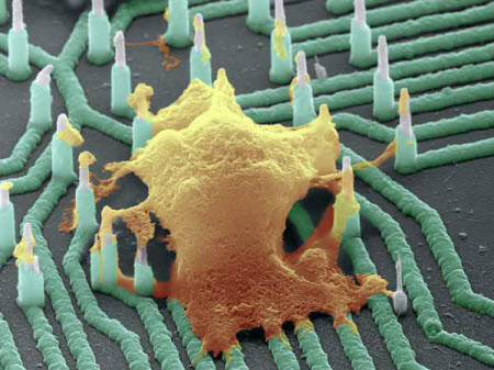 Colorized SEM image of a neuron (orange) interfaced with the nanowire array