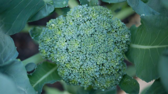 Ammonium and Broccoli