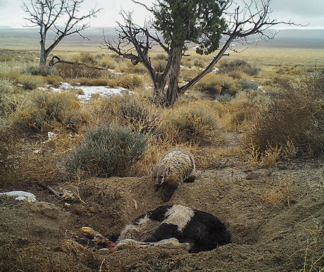 American badger burying a calf carcass by itself in Utah's Grassy Mountains, January 2016