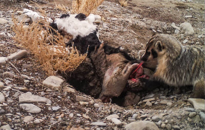 merican badger burying a calf carcass by itself in Utah's Grassy Mountains, January 2016