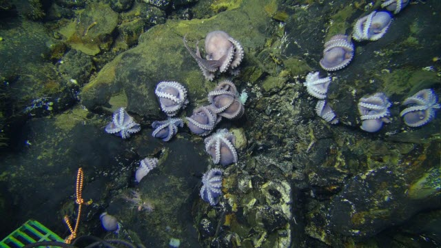 Group of brooding octopuses on the ocean floor