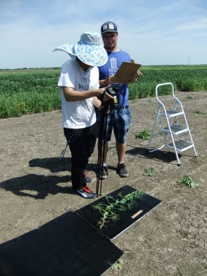 Heat Stress in Peas research