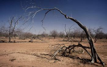 trees in Senegal that have died in a drought
