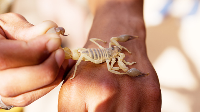 scorpion on a human hand