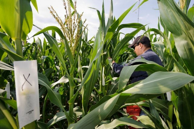 UW–Madison researchers study the genetic traits of the corn plant for potential use as biomass fuel