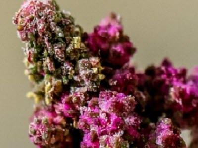 Producing 'super foods': Unlocking quinoa genome opens door to new breeding techniques