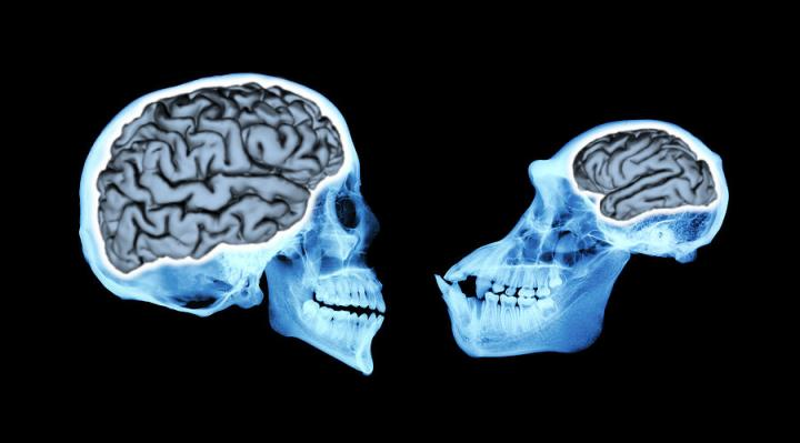 Comparison of Human Brains to Closest Relatives