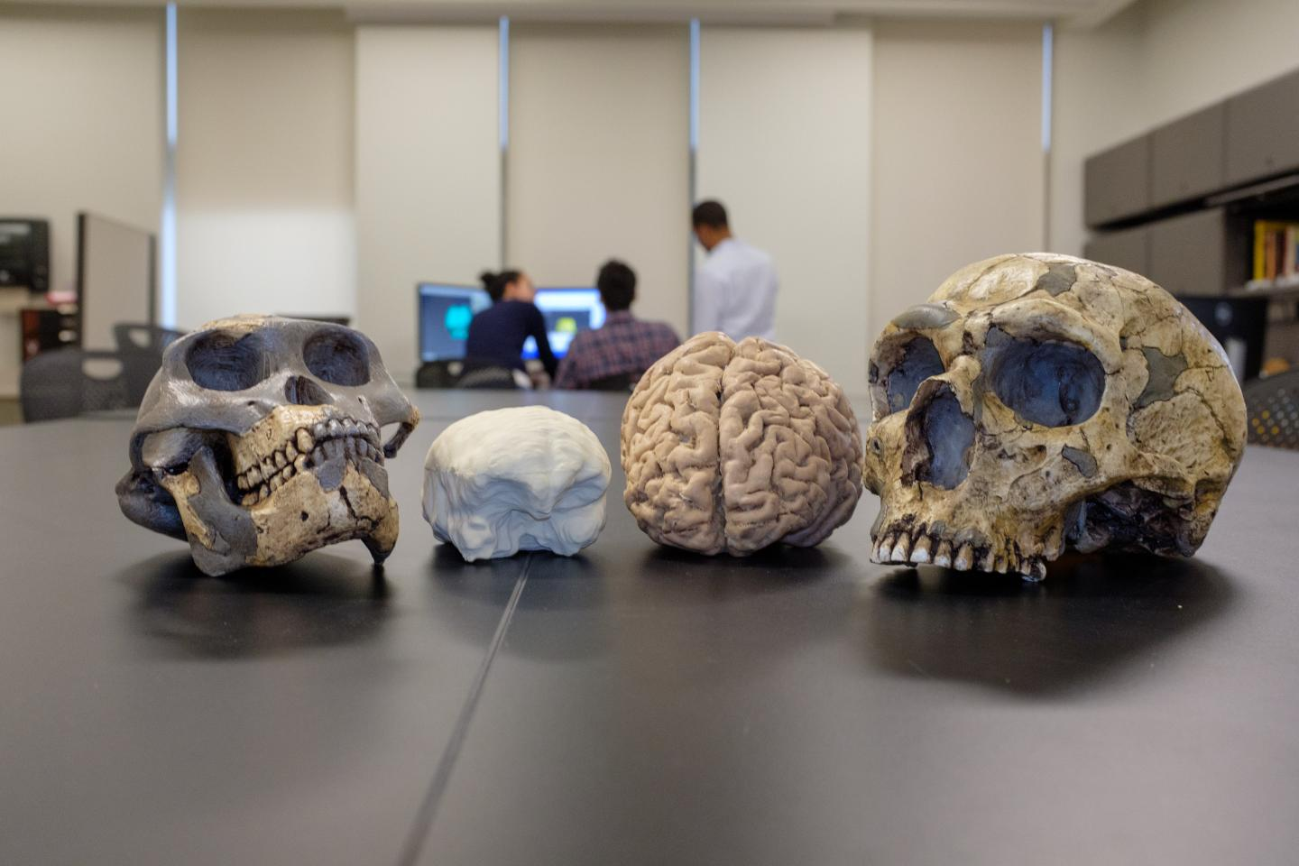 Fossil comparison of human ancestor to modern day human