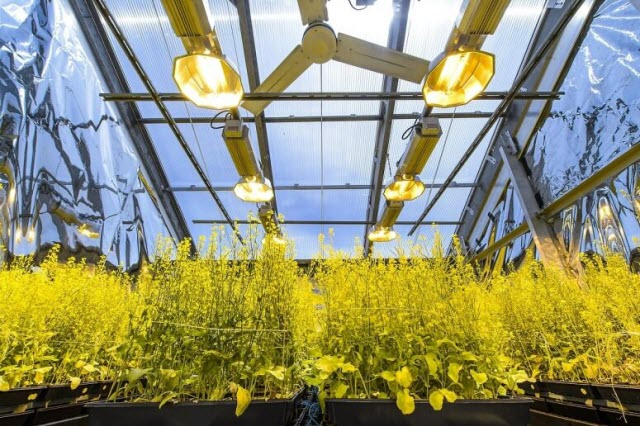 Flats of the rapid-cycling Brassica plant are housed in a greenhouse of the Wisconsin Fast Plants Program in the Biotron Laboratory at the University of Wisconsin–Madison