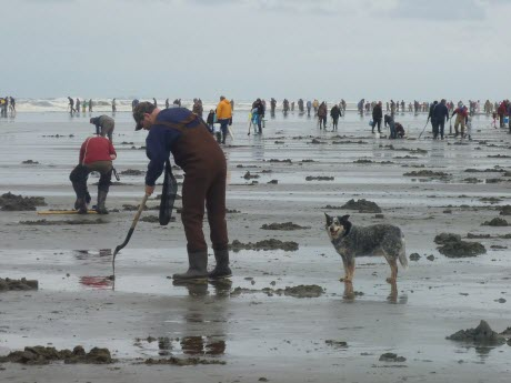 Razor Clam Diggers in Washington