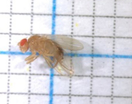 transgenic fruit fly