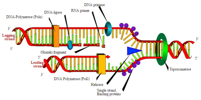 Dna Helicase