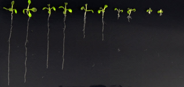 Lab-made hormone may reveal secret lives of plants