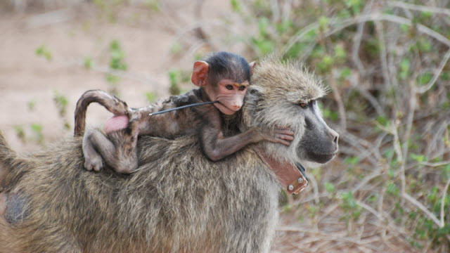 female savannah baboon with baby and tracking collar