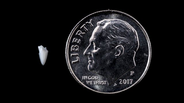 Tooth Fragment Embedded in Foot Solves 25-Year-Old Shark Bite Mystery