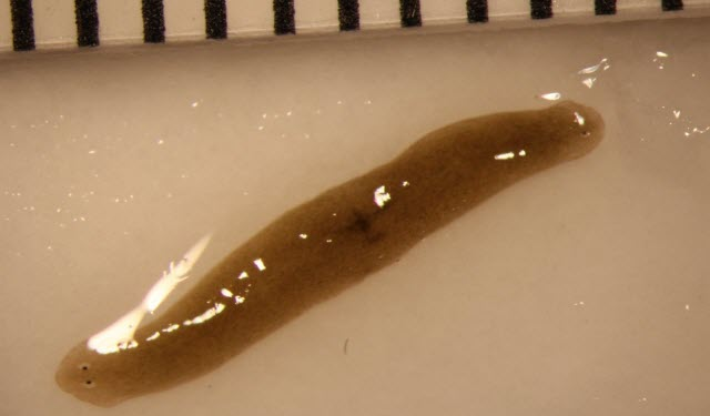 Space-Traveling Flatworms