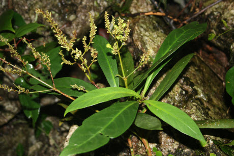 Willow-leaved Justicia