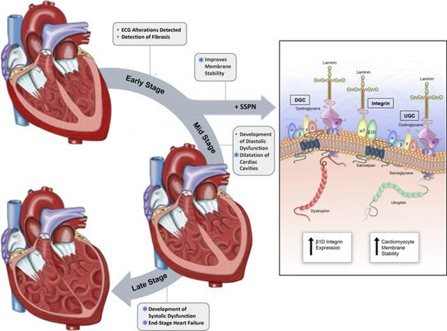 arcospan can help stabilize cardiac cell membranes