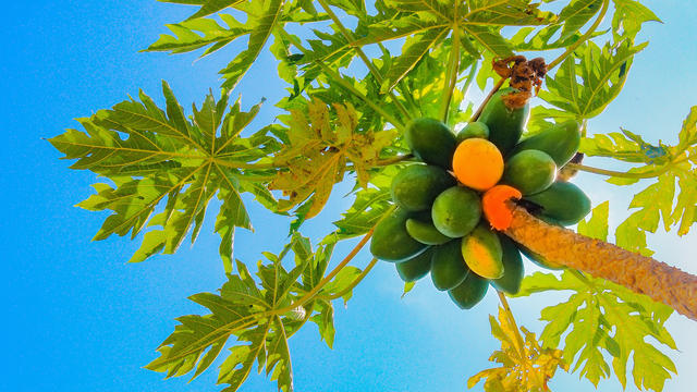 papayas on tree