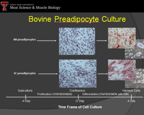 bovine preadipocyte culture