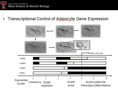 transcriptional control of adipocyte gene expression