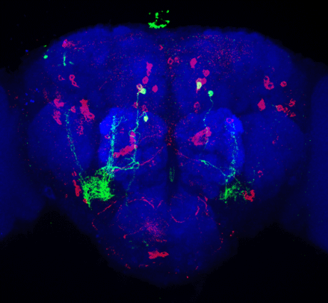 The food preference neurons (green) in a fruit fly head