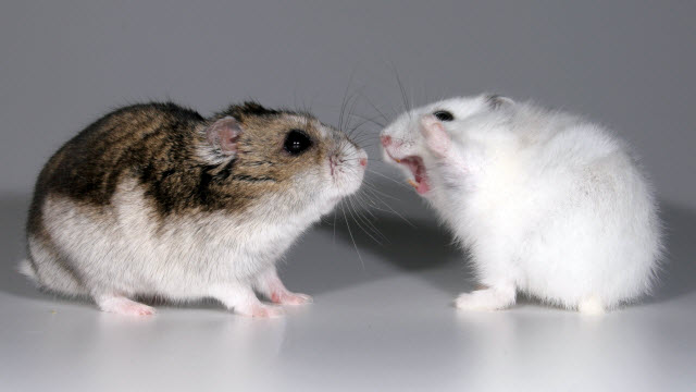 A female hamster displays aggressive behavior