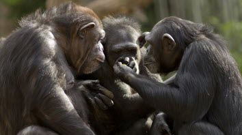 chimpanzee language claims lost in translation, researchers conclude
