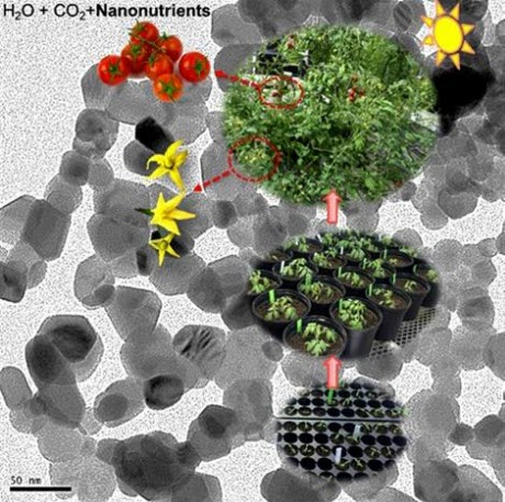 the lifecycle of the nanonutrients used in tomato plants, from seed to plant to fruit