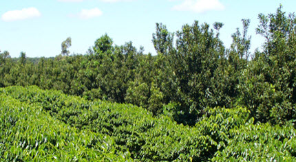 Coffee plants intercropped with macadamia nut trees