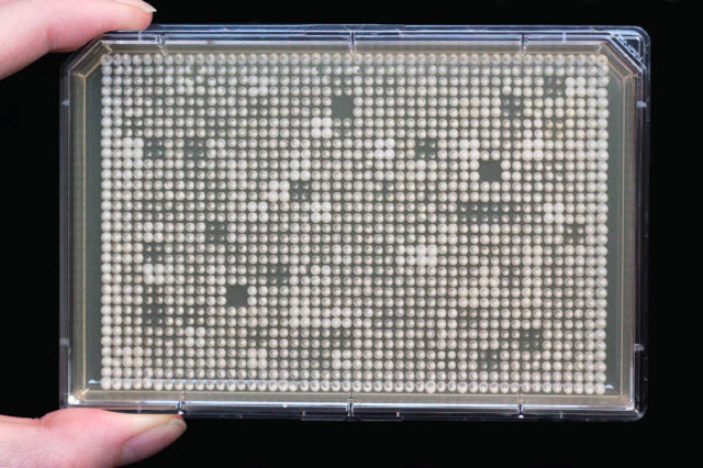 Arrays of mutant yeast strains in a Petri dish.