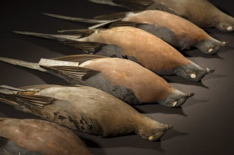 Passenger Pigeon Specimens
