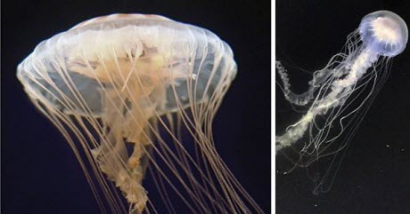 Two Jellyfish Species