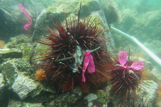 Male sea urchins spawning off the Pacific coast of Canada