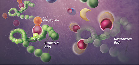 Human cells modify viral RNA with m6A