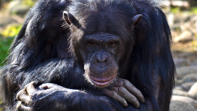 chimpanzee deep in thought