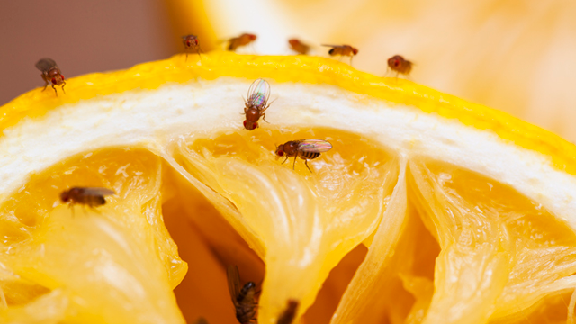 fruit flies on fruit