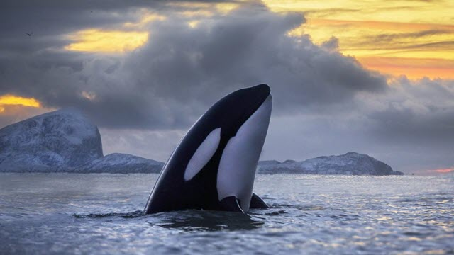 Chemical pollution threatens to wipe out killer whales