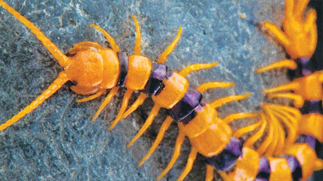 centipede venom a medicinal resource lab manager