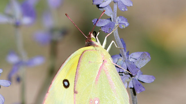 butterflies can see the UV-Vis spectrum